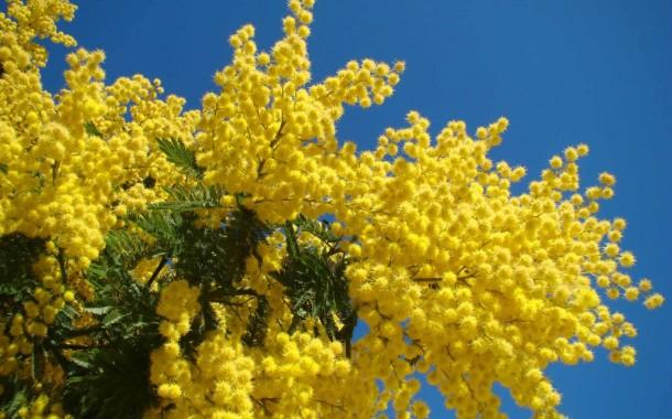 Fête du Mimosa 2016à Mandelieu : c'est parti!