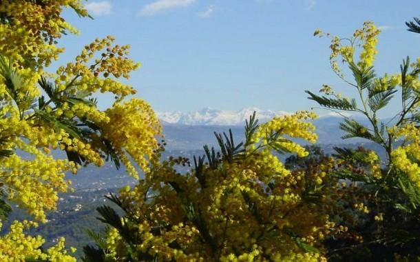 La Fête du Mimosa 2017 à Mandelieu la Napoule