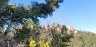 massif-tanneron-mimosa
