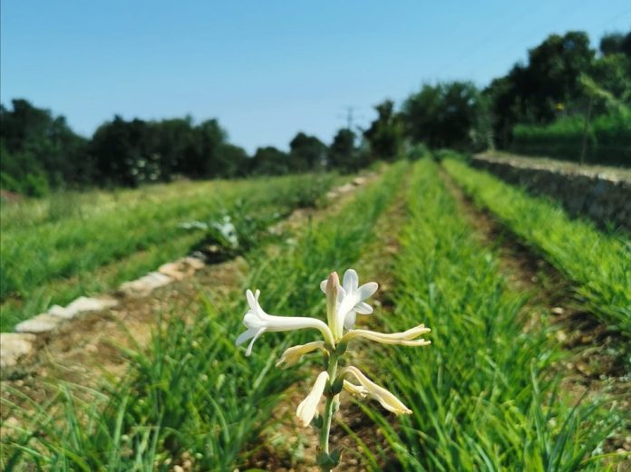 terre-de-jasmin-floraison