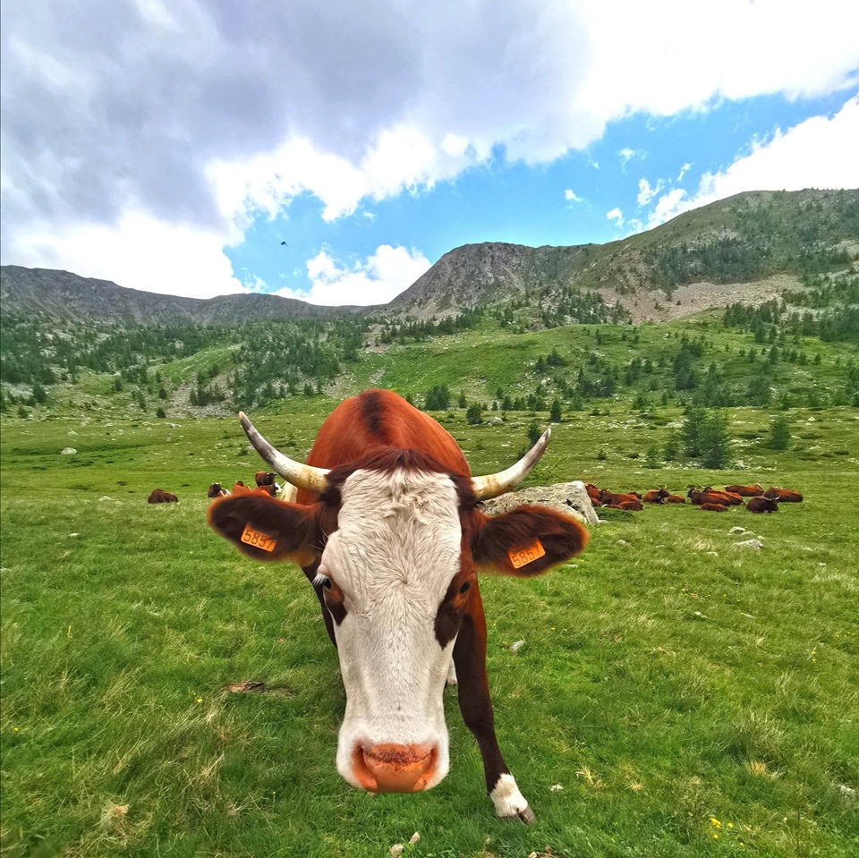 vache-vesubie