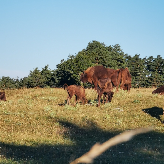 bisons-reserve-monts-azur