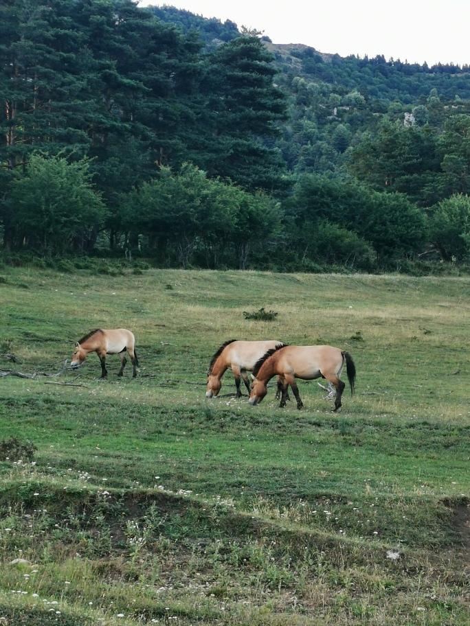 cheval-przeziaski-reserve-monts-azur
